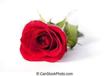 red rose lying on white