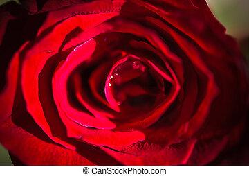 Red rose. Macro background