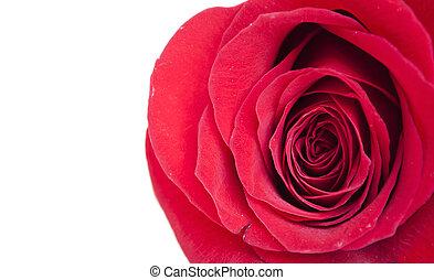 Red rose macro shot