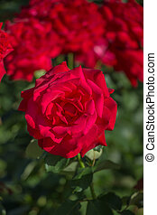 red rose on a background of foliage