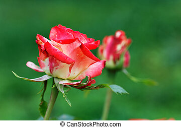 red rose on a background of green grass