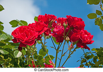Red rose on a blue background