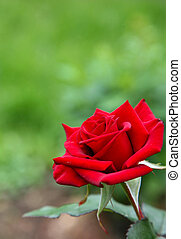 Red rose on a green background in the summer garden