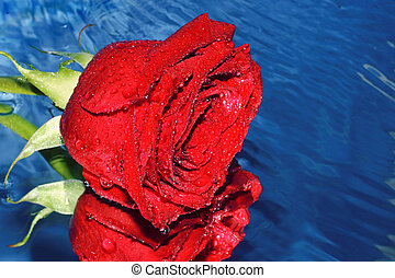 Red rose on a water
