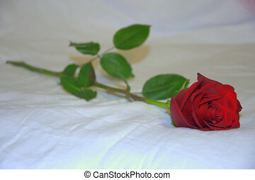 Red rose on a white background. Close-up.