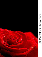 Red rose on black background - Red rose with dew drops on...