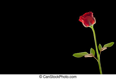 red rose on black with space to write on