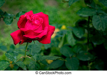 Red rose on green leaves background