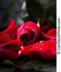 Red rose on petals, low key on black