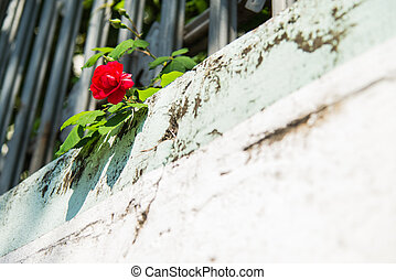 Red rose on stone wall 2