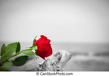 Red rose on the beach. Color against black and white. Love, ...