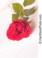 Red rose on the bed close-up