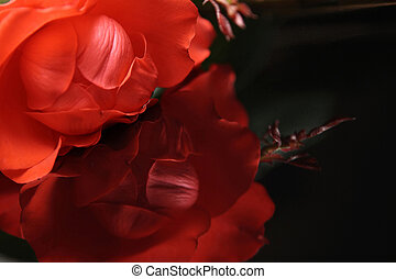 Red rose on the black piano. Reflexion