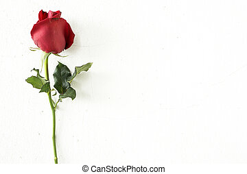 Red rose on wall background