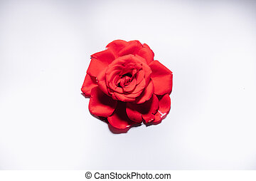 Red rose on white background, isolated