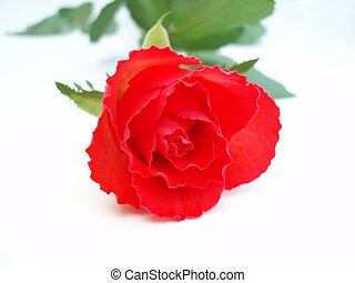 Red rose on white ba