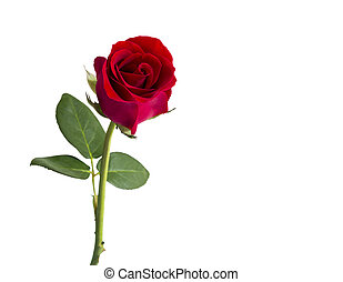 Red rose on white background with clipping path