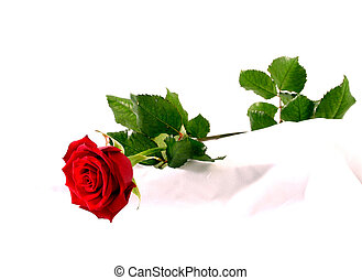 red rose on white silk