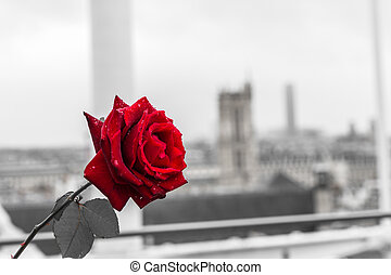 Red rose over Paris background from