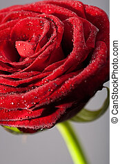 red rose petals, closeup photo with water drops