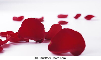 red rose petals falling on white background in slow motion, ...
