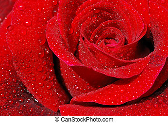 Red rose - Close-up of a red rose with droplets.