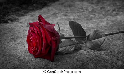 Red Rose Placed On Grave Black And White - Person puts ...