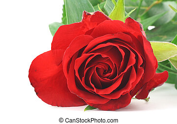 red rose - real macro