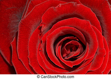 red Rose - rote Rose - close up of a red rose -...