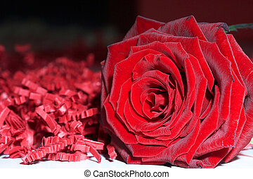 red Rose - rote Rose - red rose on white background - rote...