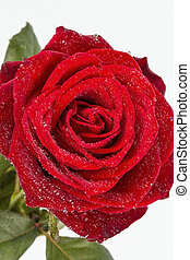 red rose. sign of love - a red rose in front of white...