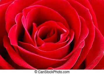 Red rose - Macro image of a beautiful red rose