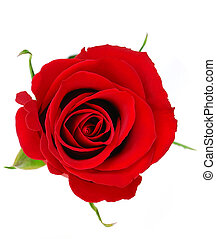 Red rose - Top view of a red rose blossom isolated on white ...