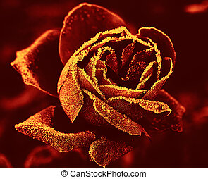 Red Rose under hoar-frost in yellow-red tone