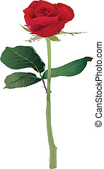 Red Rose, vector