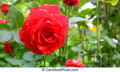 red rose waving in the wind in the garden
