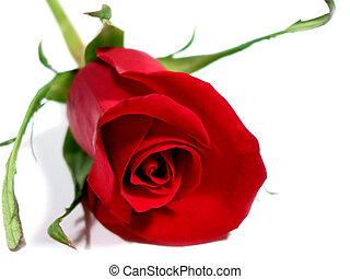 Red rose white background