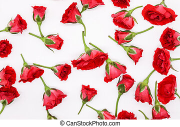red rose white background flower nature beauty