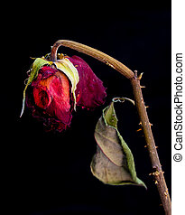 Red rose wilted flower