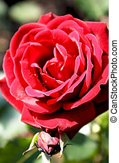 Red rose with a bud