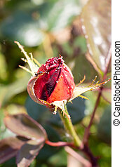 Red rose with aphids in a garden