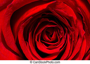 red rose with blurred background. Macro