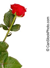 Red rose with copy space