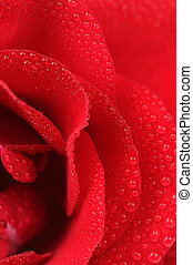 Red Rose with Dew Drops Macro