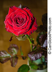 Red rose with drops of dew on leaves background.