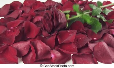 Red rose with drops of water falling to background of the petals slow motion stock footage video