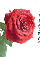 Red rose with drops of water on the white background