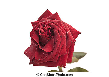 red rose with drops on white background
