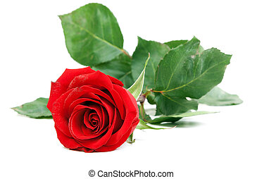 Red rose with green stem isolated on a white background
