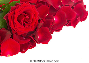 red rose with petals border